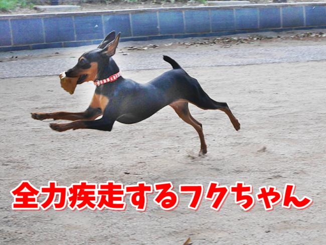 全速力で疾走するミニチュアピンシャーのフクちゃん!