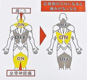 広背筋と周囲の筋肉の関係