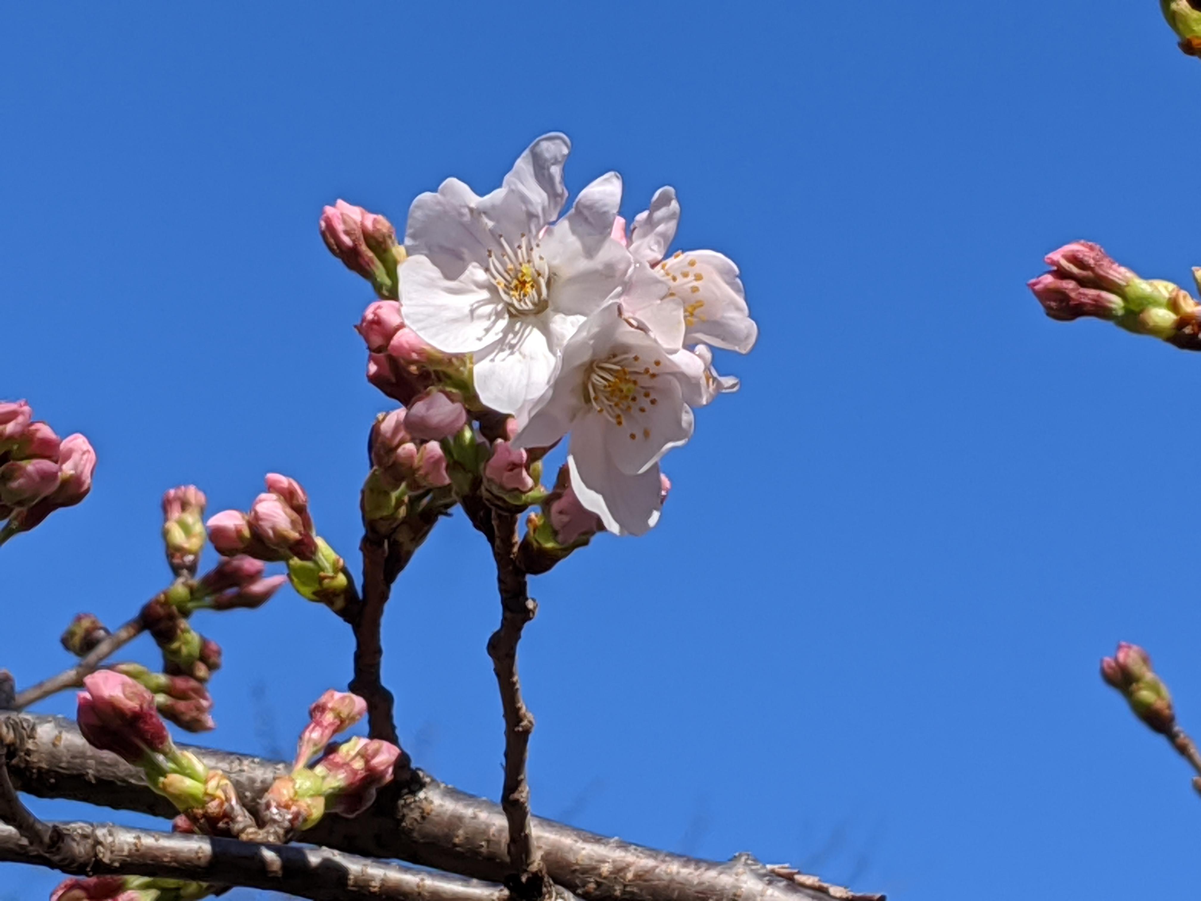 桜咲きました!