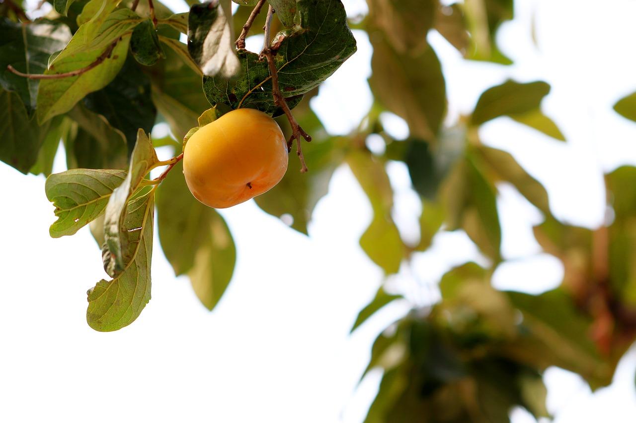 春分の日、柿の種から芽が出た!